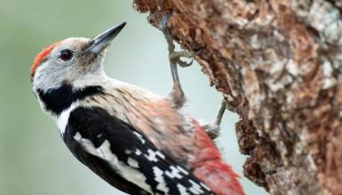 Middle spotted woodpecker (CC BY-3.0-ES 2012/EJ-GV/Irekia-Gobierno Vasco/Mikel Arrazola)